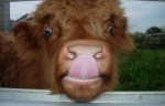 Highland Cattle yummie